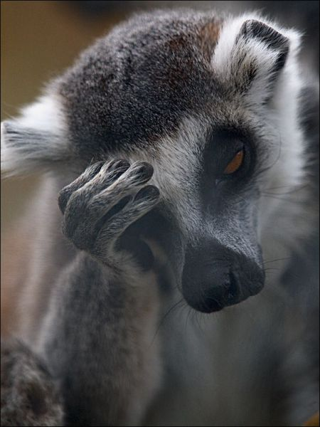 lemur-facepalm.jpg